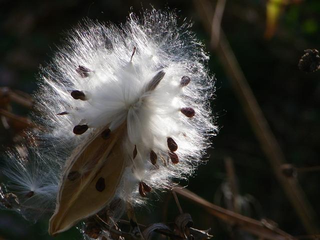 Milkweed, Brown, Soft, Light, Season, Seed, Natural