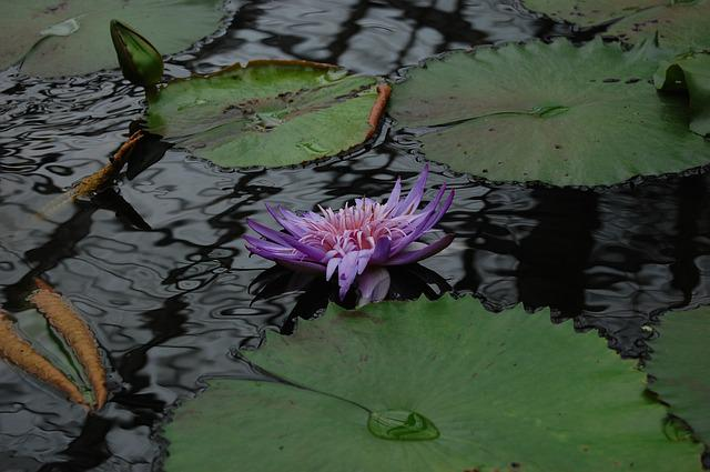 Pond, Waters, Natural, Lily, Aquatic, Leaf, Lotus
