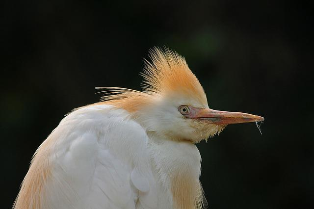 Cattle Egret, Bird, Wild, Natural, Outdoor, Egret