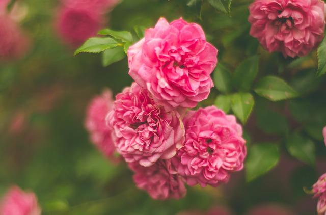 Flowers, Pink, Pink Flowers, Plant, Garden, Natural
