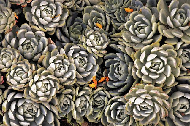 Succulents, Plants, Decorative, Green, Nature, Natural