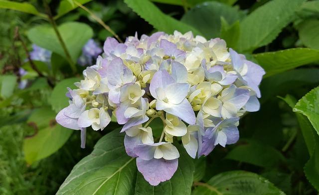 Hydrangea, Purple, Spring, Natural, Morning