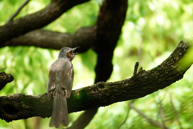 Brown-eared Bulbul, Twitter, Natural