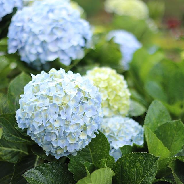 Flower, Dalat, Vietnam, Natural, Hydrangea