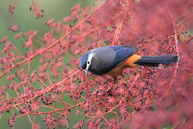 Natural, Bird, Ecology, White-eared 畫 Eyebrow