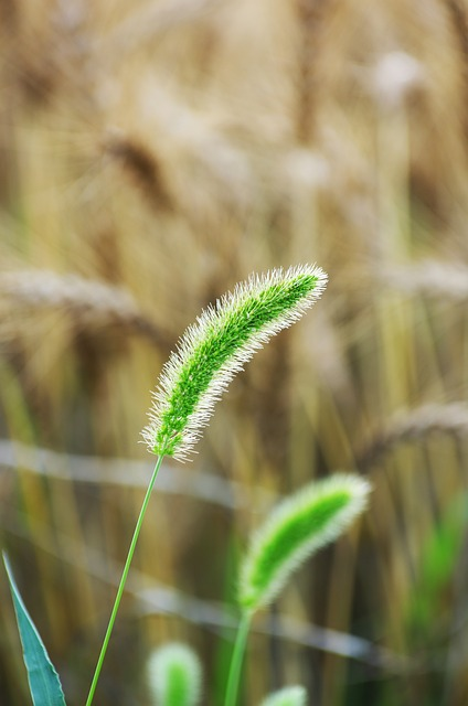Vernal Grass, Wild Grass, Field, Natural, Green