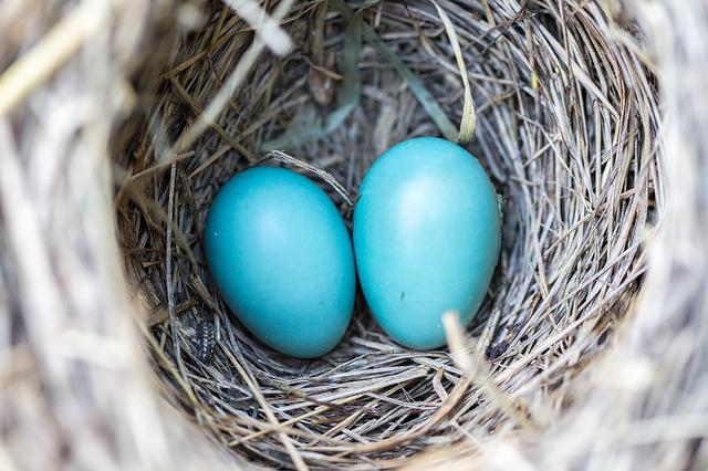 Bird, Nest, Eggs, Blue, Wildlife, Nature, Natural, Home