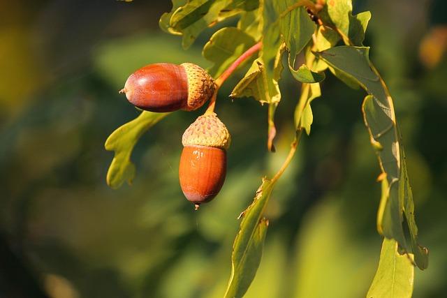 Acorns, Acorn, Oak Leaves, Tree, Autumn, Leaves, Nature