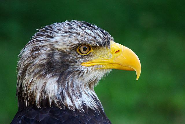 Adler, Bird, Animal, Bird Of Prey, Raptor, Head, Nature