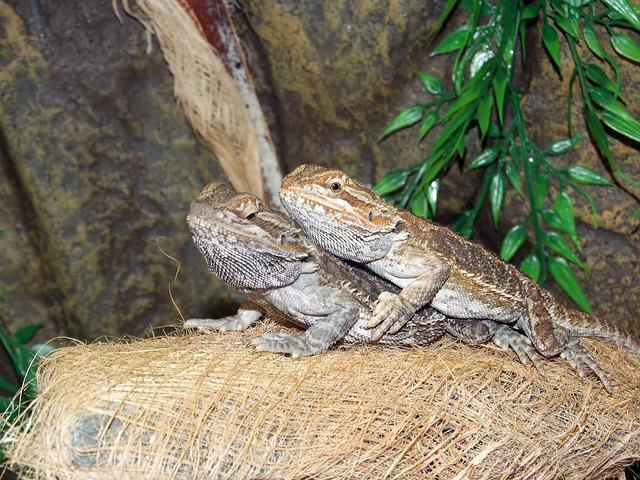 Agama Bradatá, Lizard, Nature, Terrarium, Agama, Dragon