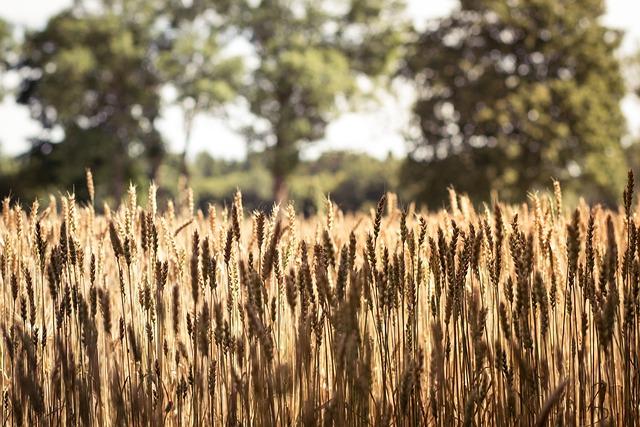 Agrofirm, Nature, Farm, Harvest, Field, Plant, Wheat