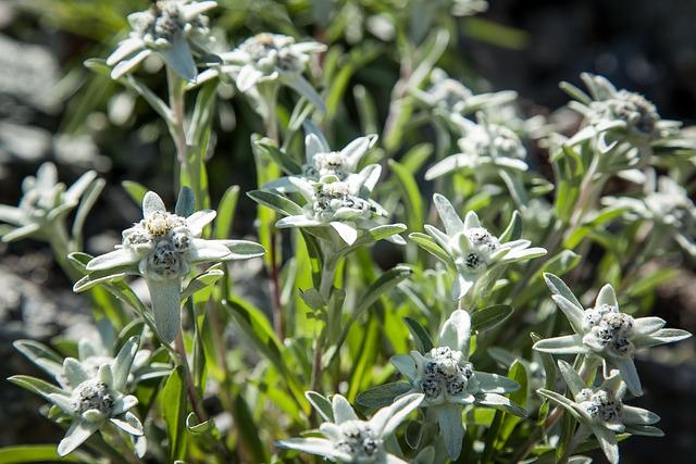Alpine, Flowers, Alpine Flower, Summer, Nature, Meadow