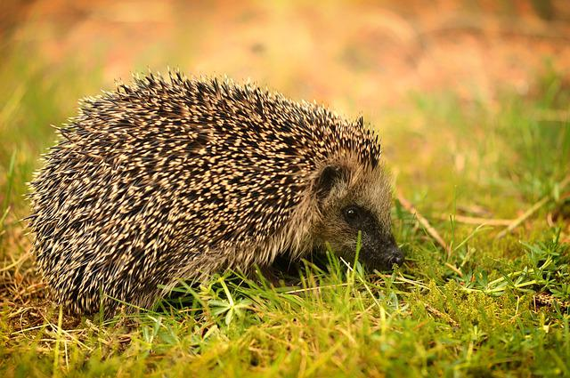 Nature, Grass, Animal World, Mammal, Animal, Hedgehog