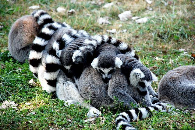 Animal, Hairy, Hair, Nature, Lemur, Animals, Zoo
