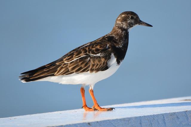 Bird, Animal, Nature, Ruddy Turnstone