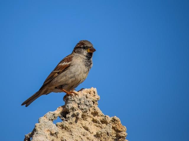 Sparrow, Bird, Nature, Wildlife, Animal, Outdoors, Rock