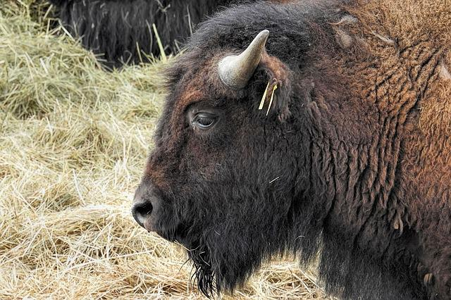 Bison, Animal, Mammal, Nature, Animal World, Grass
