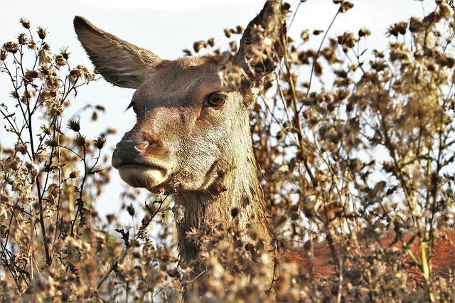 Deer, Doe, Animal, Nature, Wildlife, Mammal, Wild