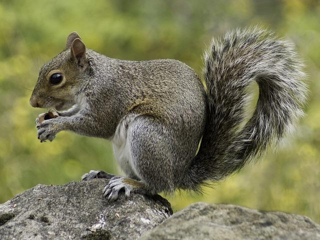 Squirrel, Wildlife, Nature, Animal, Fur, Furry, Wild
