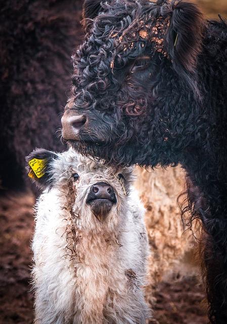 Galloway Cattle, Winter Coat, Mammal, Animal, Nature
