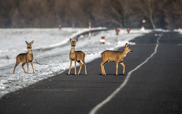 Path, Doe, Animal, Bob Cat, Nature, Snow, Straight Road