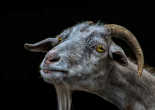 Goat, Billy Goat, Animal, Nature, Mammal, Portrait