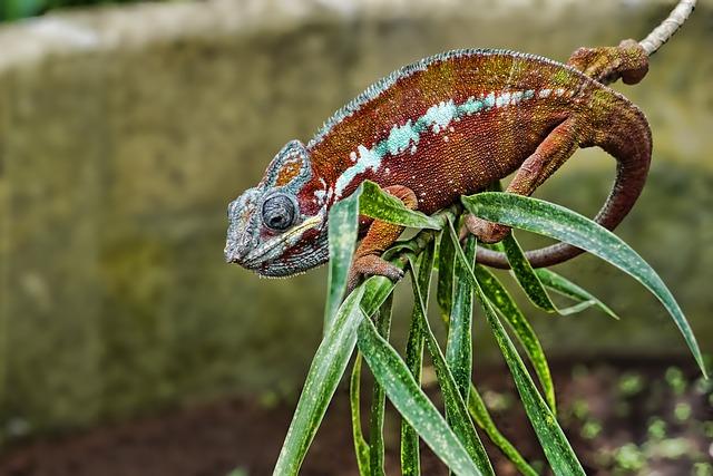 Nature, Animal, Animal World, Reptile, Chameleon