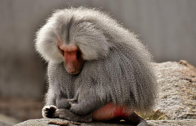 Baboon, Monkey, Zoo, Animal, Nature, Tiergarten