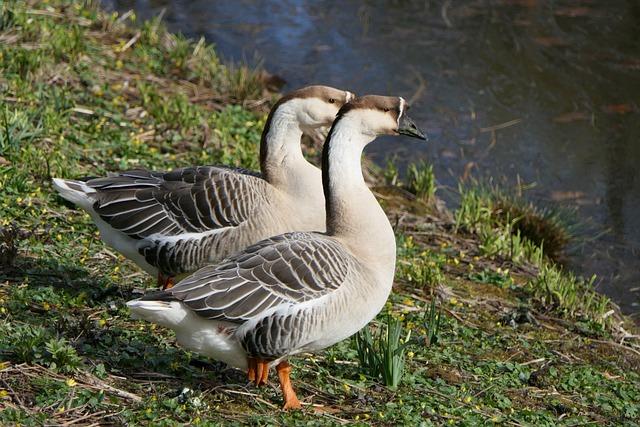 Goose, Geese, Water Bird, Animal World, Nature, Animal