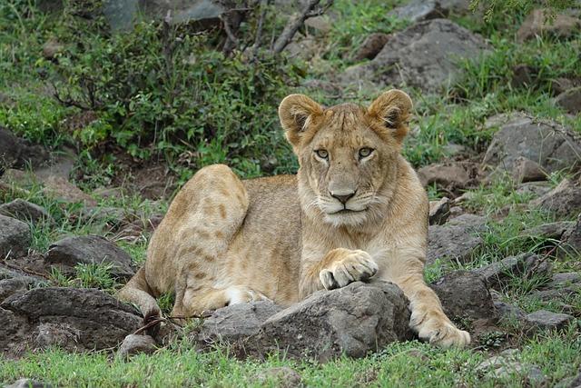 Wildlife, Mammal, Nature, Carnivore, Animal, Lion