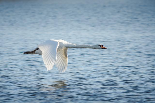 Bird, Waters, Animal World, Nature, Swan, Bird Flight