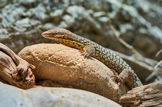 Lizard, Nature, Reptile, Animal World