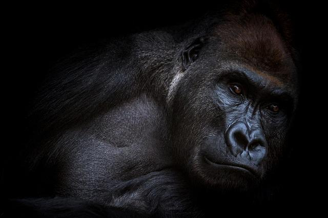 Gorilla, Animals, Love Animals, Nature, Animal World