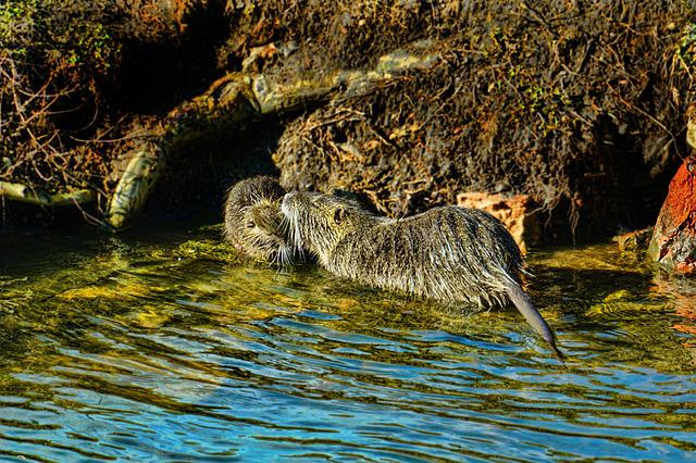 Nature, Animal World, Mammal, Nutria, Mother And Child