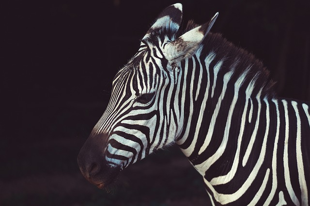 Animal, Nature, Savanna, Stripes, Wildlife, Zebra