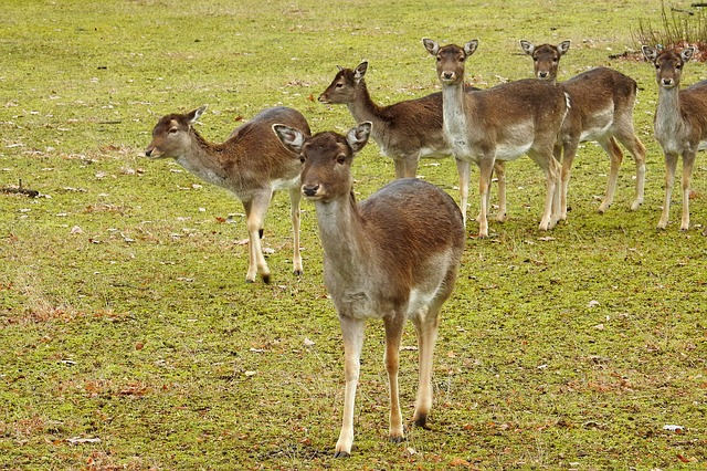 Deer, Forest, Fallow Deer, Nature, Wild, Animals