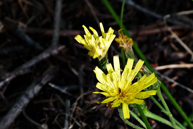 Annual Hawksbeard, Yellow, Wildflower, Nature, Forest
