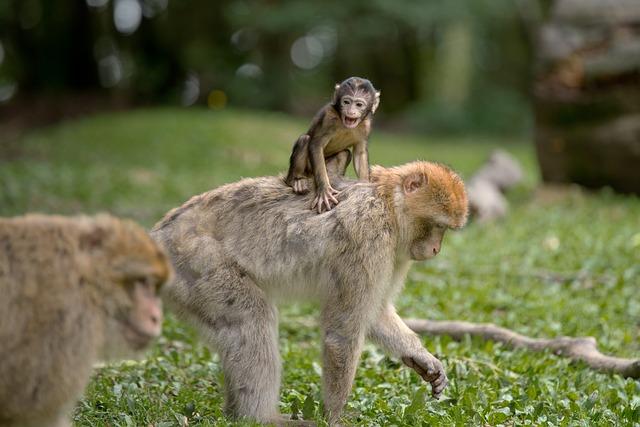 Ape, Berber Monkeys, Mammal, äffchen, Nature
