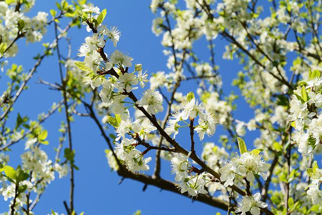 Apple Blossoms, Spring, White, Nature, Apple Tree