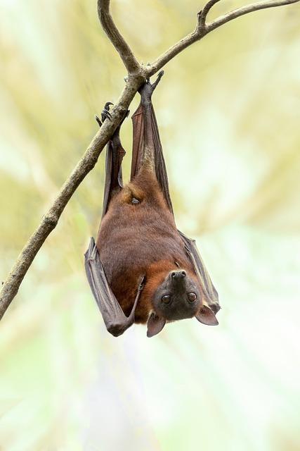 Bat, Australia, Wildlife, Nature, Tree, Wild, Outdoor