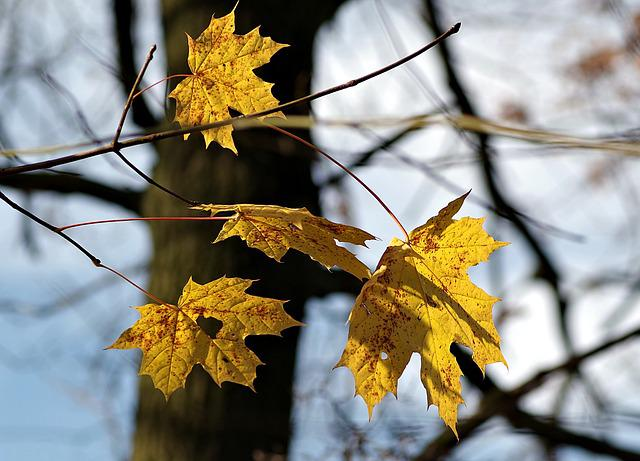 Autumn Leaves, Autumn, Clone, Yellow Leaves, Nature