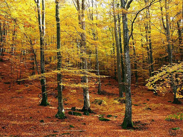 Beech Forest, Autumn, Autumn Colors, Forest, Nature