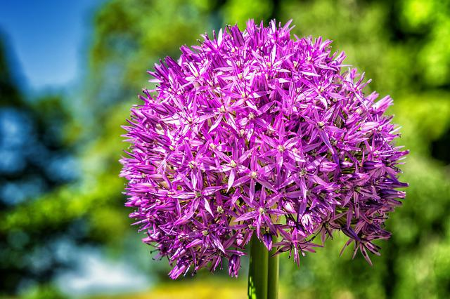 Flower, Blossom, Bloom, Ball Leek, Purple, Nature