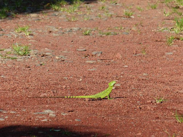 Basilisk, Lizard, Green, Reptile, Scale, Animal, Nature