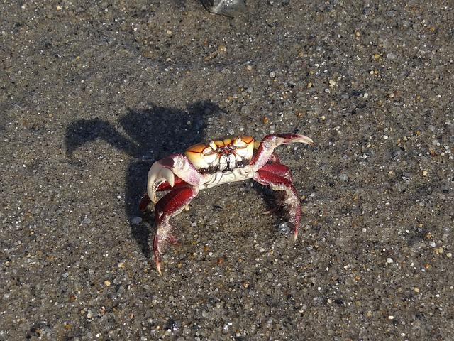 Crab, Beach, Nature