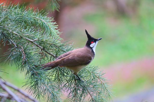 红耳鹎, Bird, Wildlife, Nature, Beak, Animal, Wild