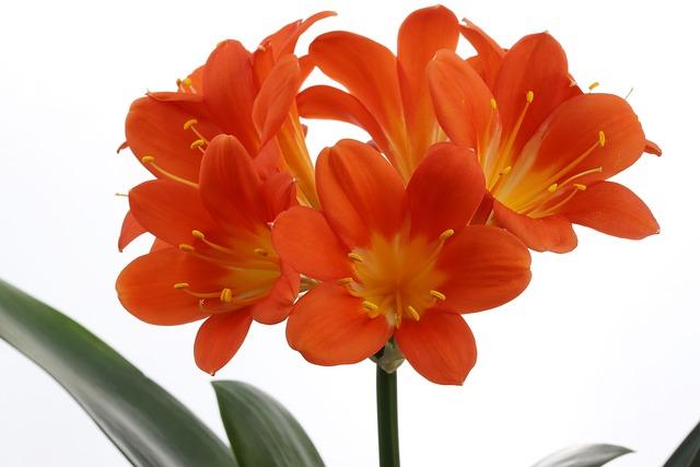 Clivia Miniata, Flowers, Beautiful, Nature