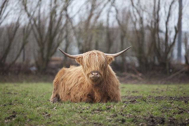 Highlander, Nature, Cow, Horns, Beef, Mammal