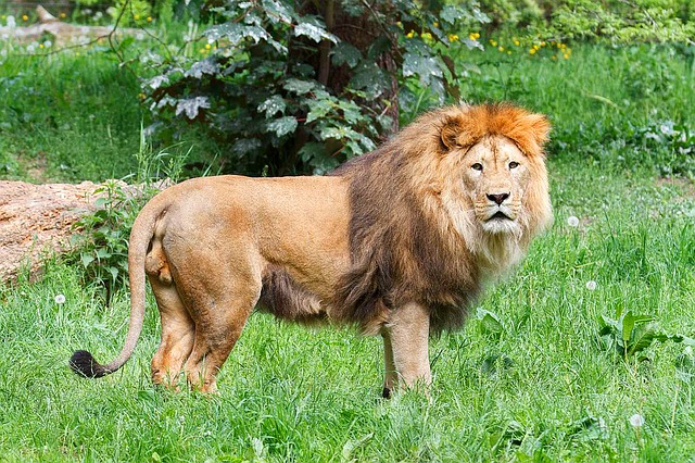 Lion, Big Cat, Wild, Animal, Nature, Mane