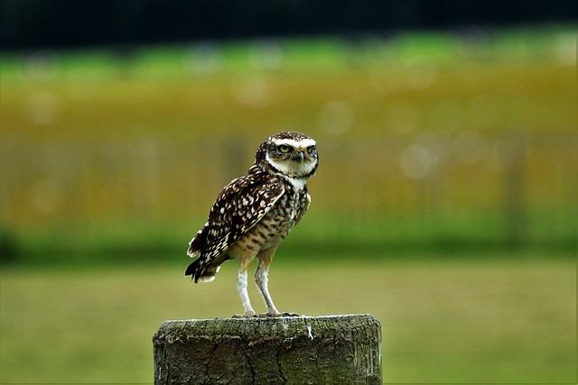 Burrowing Owl, Small Owl, Bird, Nature, Burrowing, Owl
